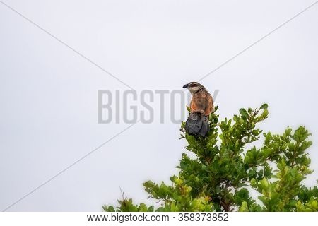 A white-browed coucal, centropus superciliosus, perched in a tree in Nairobi National Park, Kenya. Space for your text.