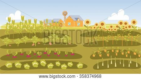 Neat Beds With Vegetables In Farmers Garden. Growing Root Vegetable, Cabbage, Corn, Sunflower, Tomat