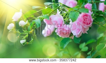 Beautiful pink Rose blooming in summer garden. Roses flowers growing outdoors, nature, blossoming flower art design background. Easter holiday rose bud close-up. Nature, Gardening concept