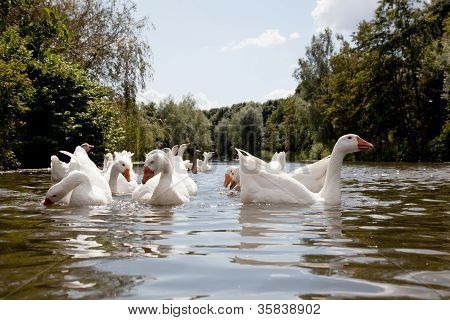 flock of white geese swimming