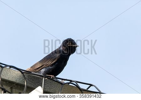 Purple Martin Progne Subis Birds Cluster Into A Bird House