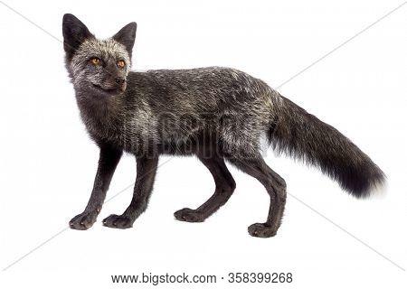 Black fox isolated on white background