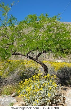 Brittlebush and tree at Tahquitz Canyon, Palm Springs, California.