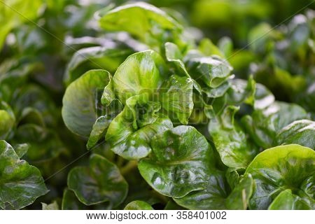 Watercress Growing In The Vegetable Garden Plant Green Leaf Texture Background / Fresh Watercress Sa