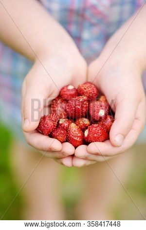 Close-up Of Child's Hands Holding Fresh Wild Strawberries Picked At Organic Strawberry Farm. Kid Har