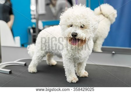 Dog Bichon Frise Stands On A Table In A Veterinary Clinic.