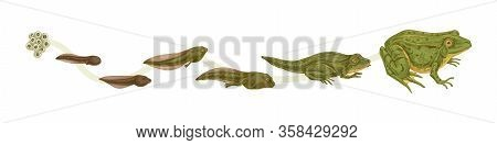 Realistic Colorful Stages Of Frogs Life Cycle Isolated On White Background. Set Of Frog Metamorphosi