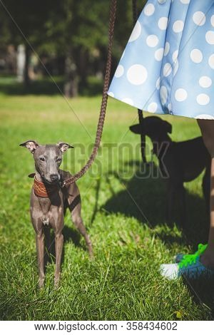 Close-up Of A Dog Italian Greyhound. Woman With A Beautiful Dog In The Park. Summer Walk With A Dog.