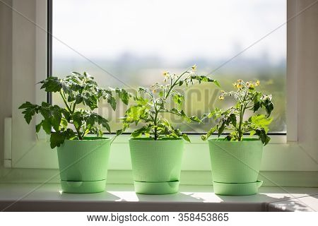 Bushes Of Cherry Tomatoes Grow In Flower Pots On The Windowsill. Potted Tomatoes On Window. Kitchen