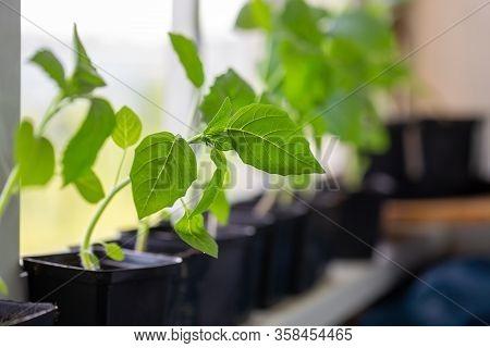 Young Tomatillo Seedlings (mexican Husk Tomato, Physalis Philadelphica, Physalis Ixocarpa, Vegetable