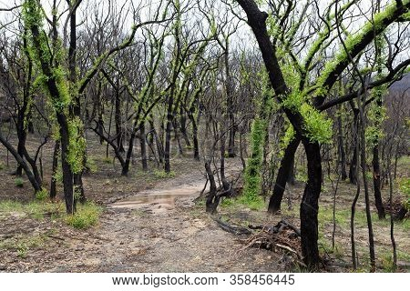 A Track Meanders Through The Fluffy Leaf Trees, Regeneration Growth After Summer Bush Fires In The A
