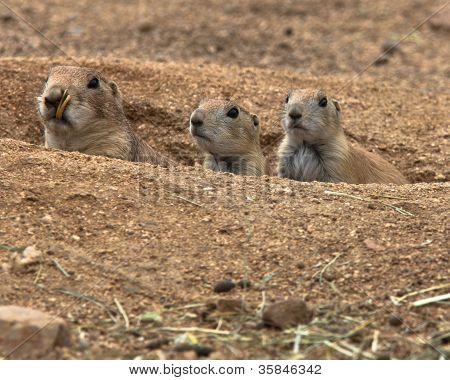 Three Cute Prairie Dogs Peeking Out Of Burrow
