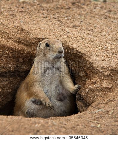 Fat Prairie Dog Standing In Burrow