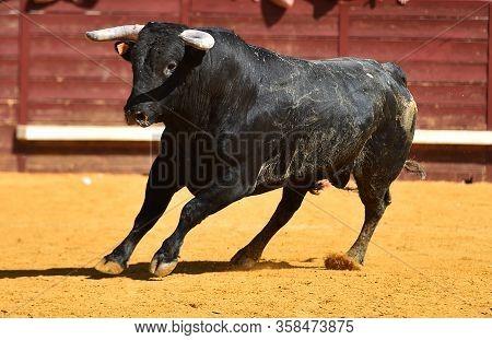 Spanish Black Bull With Big Horns On Spanish Bullring