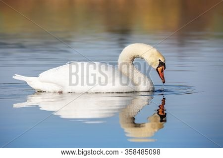 Wild Bird Mute Swan (cygnus Olor) Swim In Spring On Pond With Reflection, Czech Republic Europe Wild