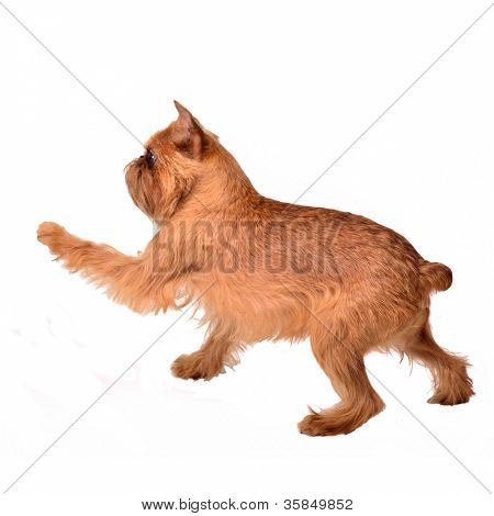 Dancing Griffon Bruxellois, isolated on white background