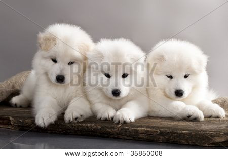 funny puppies of Samoyed dog (or Bjelkier)