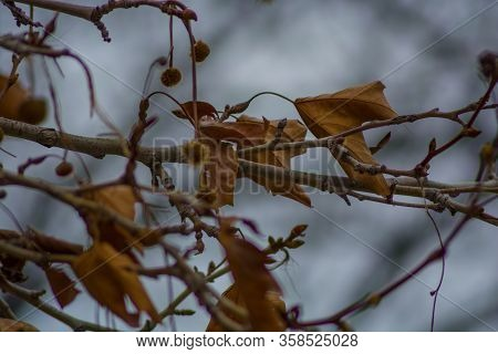 Several Withered Leaves On A Branch In The Moody Autumn.