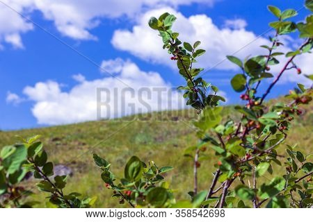 Bush With Inedible Berries Against Of Blue Sky. The Freshness Of Spring Or Summer Day. Cotoneaster P