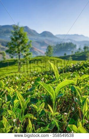 Fresh green tea leaves close up on tea plantations in Munnar, Kerala state, India.