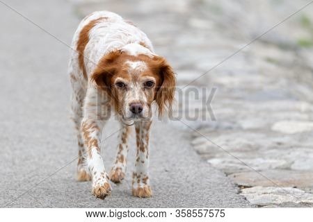 The Brittany Spaniel (canis Lupus Familiaris) Epagneuel Breton Hunting Dog, Close Up Portrait On Iso