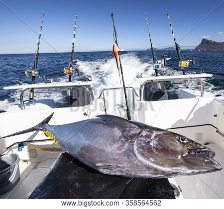 Yellowfin Tuna Aboard A Fishing Yacht After Fishing In The Sea. Transportation Of Captured Fish Afte