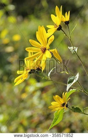 The Jerusalem Artichoke (helianthus Tuberosus), Also Called Sunroot, Sunchoke, Or Earth Apple, Is A