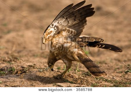 African Harrier Hawk Catching Crabs By Digging In The Riverbed