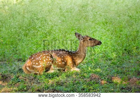 Beautiful young female chital or spotted deer relaxing on grass in Ranthambore National Park, Rajasthan, India