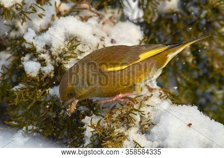 Greenfinch (Carduelis chloris),  small songbird of the family Fringillidae and order of the Passeriformes