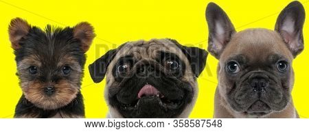 adorable team of 3 dogs consisting of a Yorkshire Terrier dog, Pug dog and French Bulldog dog arranged in line are fooling around on yellow background