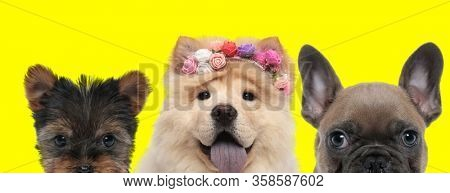 happy cute couple of 3 dogs consisting of a Yorkshire Terrier dog, Chow Chow dog wearing flowers and French Bulldog dog are standing next to each other and panting on yellow background