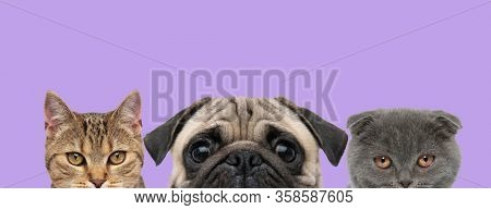 3 adorable domestic animals couple consisting of a metis cat, Pug dog and Scottish Fold Blue cat are standing in line and looking at camera on purple background