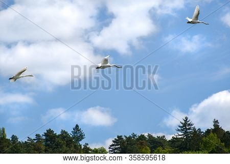 Flight Of White Swans Over Trees - Blue Sky With Clouds