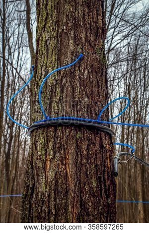 Plastic Tubing Attached To Maple Trees To Collect Sap. Canada.
