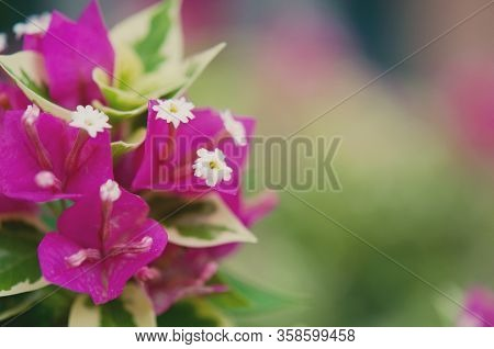 Bougainvillea Flowers Background, Pink Flower Blooming, Blurry Background
