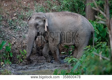 Asia Elephant (elephas Maximus) Or Asiatic Elephant, Angle View, Side Shot, Playing Happily In Mud S