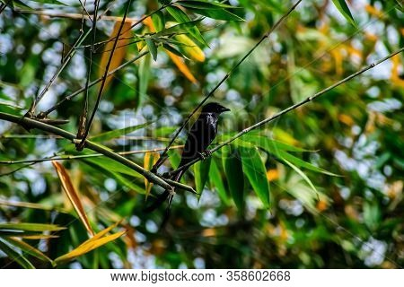 The Black Drongo Is A Small Asian Passerine Bird Of The Drongo Family Dicruridae.