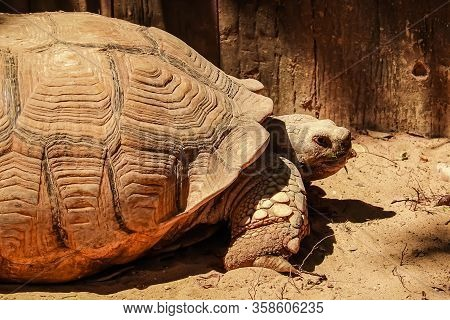 Close Up African Spurred Tortoise Resting In The Garden Under The Warm Sun Light. African Sulcata To