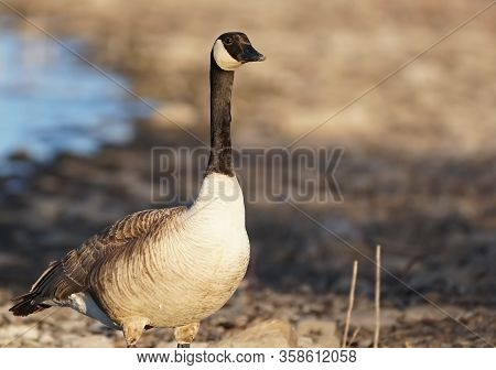 A Canadian Goose Stands On The Shore In The Late Afternoon Light.