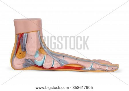 Arterial System. Blood Circulation Of The Lower Extremities. Foot Structure: Patterns And Disease Of