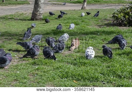 A Flock Of Urban Pigeons On The Lawn. A Group Of Bored Pigeons Is Sitting On The Green Grass. A Grou