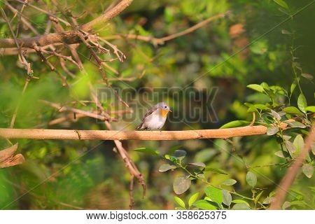 Robin Bird Perching On Branch In Green Environment,beautiful European Robin. Typical Bird. Curious,