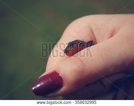 Girl Holding A Baby Lizard Or A Anoles In Her Hand. Hatchling In The Hand Of A Woman.