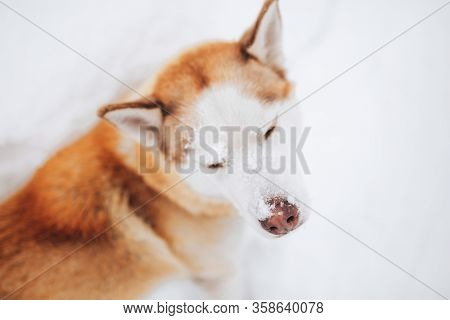 Siberian Husky Red Color In The Snow, Walk With A Dog In The Open Air