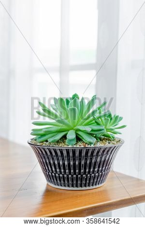 Close Up Echeveria Elegans Mexican Showball Succulents In Ceramic Pot On Table