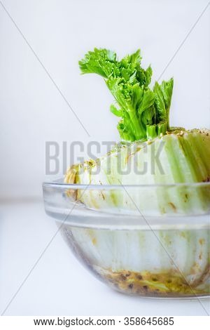 Sprouting Celery Root In The Cup Of Water Later To Be Planted In The Soil.  Close Up.