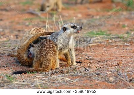 The Meerkat Or Suricate (suricata Suricatta), Playing Youngsters.