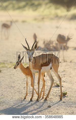 The Springbok (antidorcas Marsupialis) An Herd Of Antelope Runs In The Desert. A Herd Of Antelope In