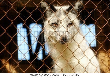 Fur farm. Young fox in the cage